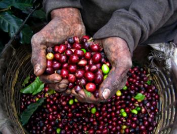A tired farmer shows his coffee cherries.