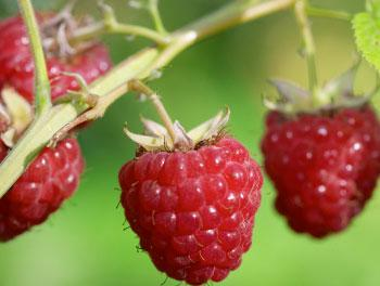 Are raspberries the next ingredient for bio power?
